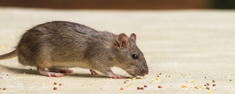 (how-to-get-rid-of-rats-fast-and-for-good
